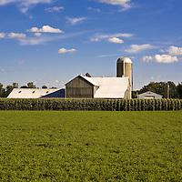 Stock photo of a corn field, barn abd grain silo under a bright blue sky. Room for text.