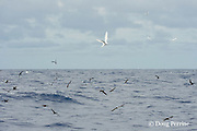 brown noddy terns, Anous stolidus, and white terns, Gygis alba, mark a school of skipjack tuna, Vava'u, Kingdom of Tonga, South Pacific