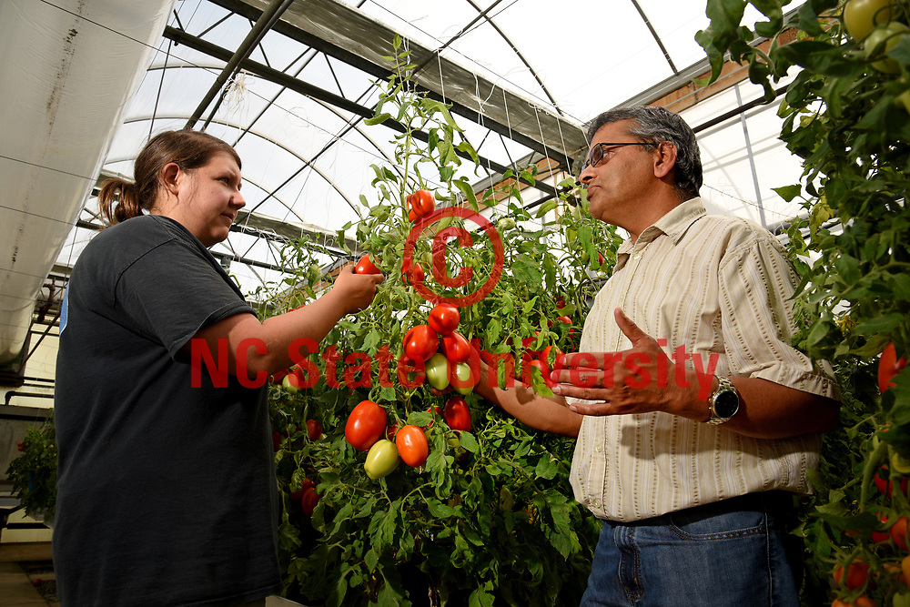 Dilip Panthee (left), researcher at Mountain Horticultural Research and Extension Center, looks over tomatoes in the farm's greenhouse with Ann Piotrowski.