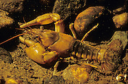 Northern Clearwater Crayfish, Underwater