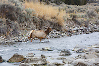 Elk at the junction of the Boiling River and the Gardner River near Mammoth Hot Springs in Yellowstone<br /> <br /> &copy;2015, Sean Phillips<br /> http://www.RiverwoodPhotography.com