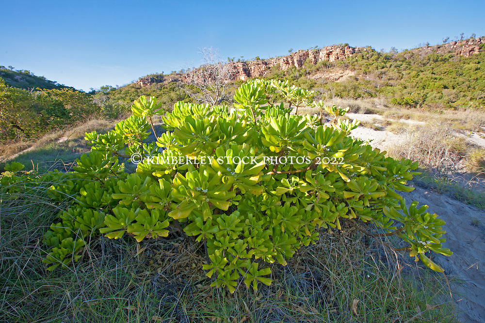 Hoya australis, a succulent, growing in the dunes at Bat Island on the Kimberley coast.