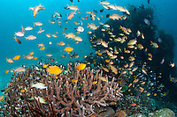 Scores of small reef fish, including Damsels, Anthias, and Cardinalfish, feed above a healthy hard coral garden.<br /> <br /> Shot in Indonesia