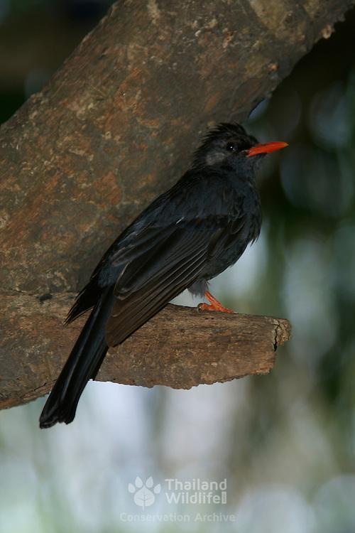 Black Bulbul, Hypsipetes leucocephalus