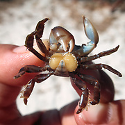 This is a small crab infested with a Sacculina barnacle parasite, a genus of barnacles that is a parasitic castrator of crabs. These barnacles are pelagic during their larval stage. Female larvae seek out host crabs. Once a suitable host is located, the female barnacle attaches to a joint area, molts into a form known as a kentrogon, and then injects its soft body into the crab, discarding its hard shell in the process. Once inside, the Sacculina develops into two parts: the interna, which comprises root-like threads that wrap around the crab's internal organs; and the externa, which is a bulbous reproductive organ that protrudes from the crab's abdomen, as pictured here. Male Sacculina barnacles inject themselves into a pocket in the female's body in order to undertake the sole function of producing spermatozoa to fertilize the female. In other words, the male becomes parasitic to the female, which is parasitic to the crab. Once infected, a crab is unable to molt, though it otherwise functions normally. Nutrition that the crab ingests is siphoned off by the barnacle. Even more amazing, when a female Sacculina sets upon a male crab, as pictured here, it sterilizes the crab and causes the male crab to release hormones that cause the shape of the body to change such that it more resembles a female crab, with wider, flatter abdomen. The formerly male crab can even act like a female, performing female mating dances. When the female Sacculina is ready to release her brood into the water, she causes her host crab to do exactly what a female crab would normally do to release her own eggs. Namely, the crab finds high ground, grooms the brooding pouch on its abdomen and shoots out clouds of larvae via the hole visible at the center of the abdominal area, using its claws to stir the water to assist the newborn larvae, in this case barnacle larvae, not crabs. Once infected, a crab devotes its life to the reproduction of Sacculina. There are more than 100 species of Saccu