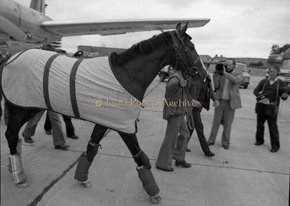 """Shergar At Dublin Airport.   (N82)..1981..25.06.1981..06.25.1981..25th June 1981..With the Irish Sweeps Derby being run on Saturday, """"Shergar"""",the race favourite arrived at Dublin Airport today. the Sweeps Derby will be held on the Curragh Racecourse, Co Kildare. Shergar is owned by the stables of the Aga Khan..Shergar is pictured stretching his legs on the tarmac at Dublin Airport after his arrival at Dublin Airport."""