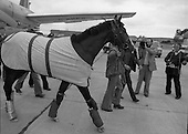 1981 - Shergar At Dublin Airport.      (N82).