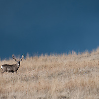 big mule deer buck staning in tall grass dark blue open sky