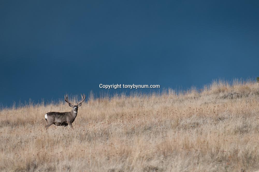 big mule deer buck staning in tall grass dark blue open sky