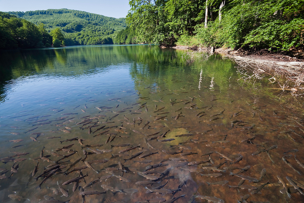 Swarm of Chub in Morske Oko Lake, Leuciscus cephalus, Morske Oko Reserve, Vihorlat Mountains, Western Carpathians, Eastern Slovakia, Europe
