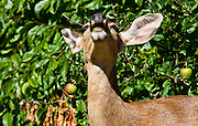 Olympic blacktail deer working over an apple tree at the edge of a homeowner's lawn