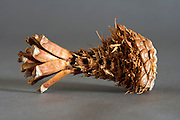 partly eaten pine cone