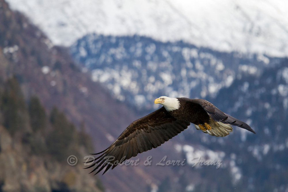 Alaskan bald eagle in flight