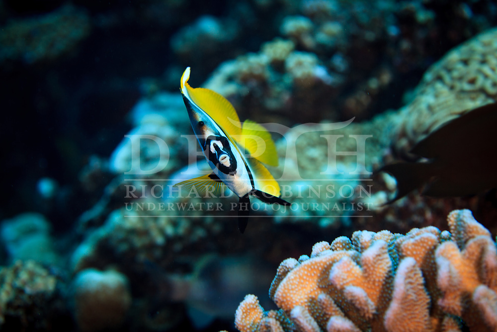 Heniochus monoceros (Masked bannerfish) at Palmerston Atoll in the Cook Islands.<br /> Saturday 03 January 2015<br /> Photograph Richard Robinson &copy; 2015