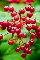 Close-up of beautiful red forest berries against a leafy green background.