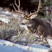 12-928. A mule deer buck with large antlers moves across a snowy hillside during a late-autumn day in the Rocky Mountains.