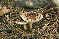 Chestnut Dapperling - Lepiota castanea