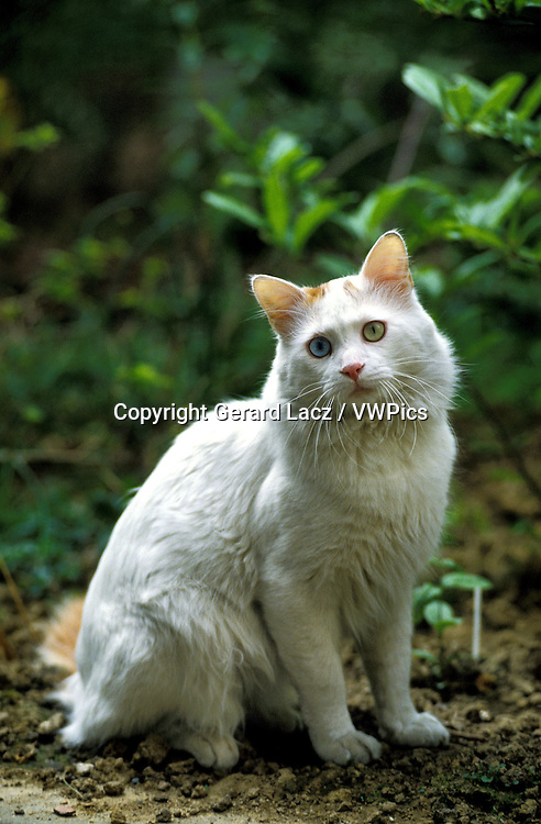 TURKISH VAN DOMESTIC CAT, ADULT WITH DIFFERENT COLOURED EYES