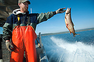 PRICE CHAMBERS / NEWS&amp;GUIDE<br /> Andy Stuth drops another lake trout back into Yellowstone Lake after it snagged itself in a trap net put in place by the National Park Service. Utilizing a system of nets stationed near spawning grounds and a fleet of roaming fishing boats, an effort to eliminate the invasive species is underway at the nation's first national park.