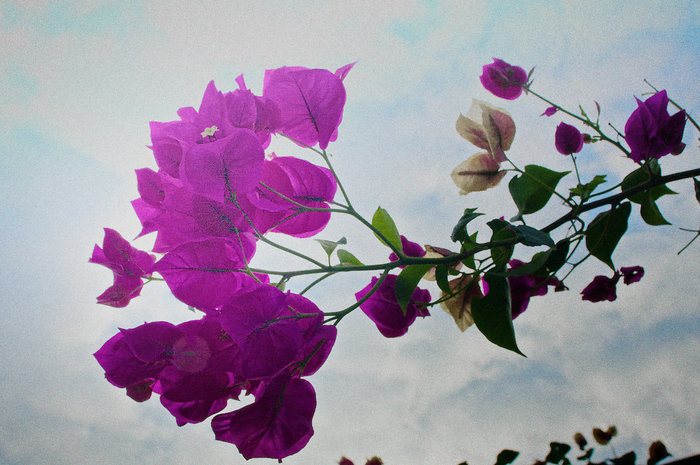 Beautiful flowers abound in Kona. This image was created using cloud-filled blue sky as a backdrop.