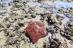 A pretty red Cushion star (Culchita schmideliana) on a sandy reef at the northern end of Augustus Island in Camden Sound.