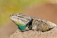 Desert Spiny Lizard [Sceloporus magister]; Tucson Sonoran Desert Museum, Arizona