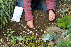 Planting bulbs of Muscari 'Valerie Finnis' - placing bulbs