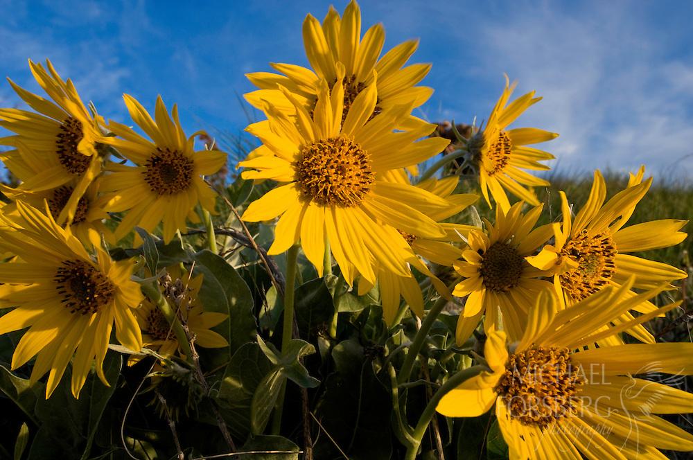 The sun dances off the yellow petals of Arrowleaf Balsamroot.