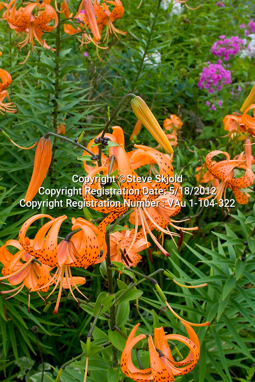 Bright orange colorful tiger lilies growing in a flower garden. Lanesboro Minnesota MN USA
