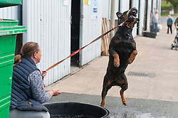 © Licensed to London News Pictures. 18/08/2018. Llanelwedd, Powys, UK. A Rottweiler enjoys itself jumping for water splashed by it's owner on the second day of The Welsh Kennel Club Dog Show, held at the Royal Welsh Showground, Llanelwedd in Powys, Wales, UK. Photo credit: Graham M. Lawrence/LNP