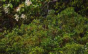 Lumholtz' Tree Kangaroo, Dendrolagus lumholtzii