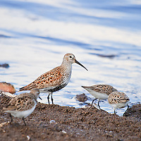 An adult dunlin (Calidris alpina) forages for horseshoe crab eggs along with semipalmated sandpipers (Calidris pusilla) on the shores of the Delaware Bay, Port Mahon, Delaware.