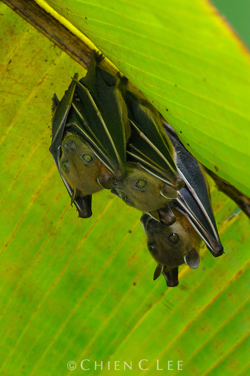 Short-nosed Fruit Bats (Cynopterus brachyotis) roosting under a wild banana leaf. Sabah, Malaysia.