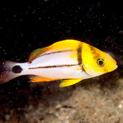Porkfish, juvenile, inhabit reefs in Tropical West Atlantic; picture taken Blue Heron Bridge, Palm Beach, FL.