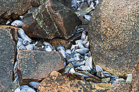 Blue Mussel shells (Mytilus edulis)washed up between pink granite boulders, Northeast Harbor, Maine