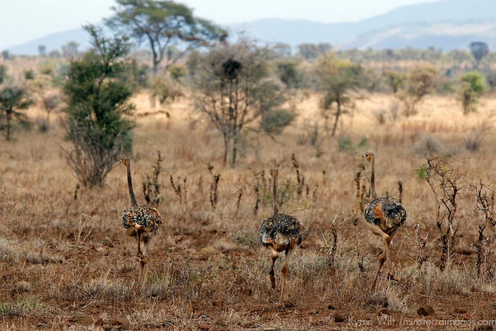 Africa, Kenya, Meru. Young Somali Ostriches.