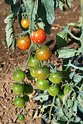 cascade of cherry tomatoes