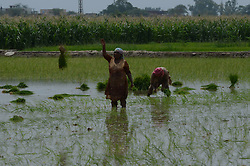 June 9, 2017 - Lahore, Punjab, Pakistan - Pakistani farmers busy in sapling the rice for paddy nursery of rice plants from a field for re-plantation in a traditional way. A paddy field is a flooded parcel of arable land used for growing semi aquatic rice. (Credit Image: © Rana Sajid Hussain/Pacific Press via ZUMA Wire)