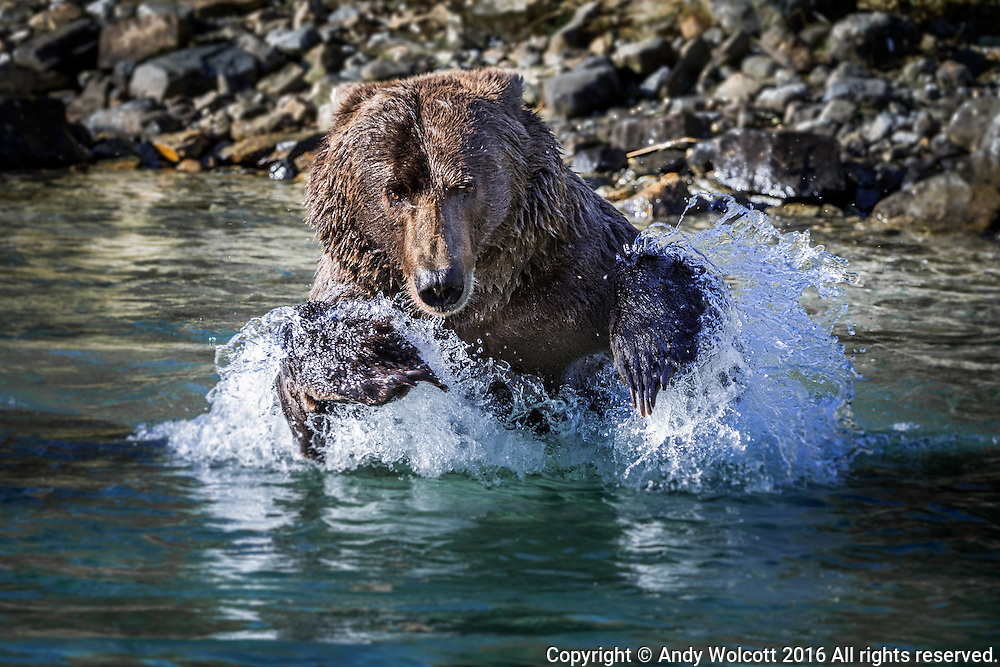 Fishing for salmon:  Grizzlies and Coastal Brown Bears are genetically identical - the difference being geography and diet.  Coastal Brown bears grow much larger than grizzlies due to the high protein content of their diet and the relatively easier life style along the more temperate coast lines of Alaska.