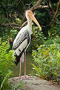 A painted stork (Mycteria leucocephala) near water. Johore, Malaysia.