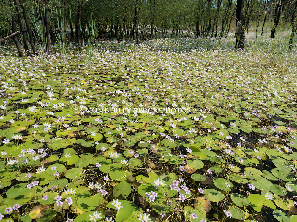 A field of waterlilies (Nymphea sp.) in a swamp near the Fitzroy River in the Kimberley region of Western Australia.