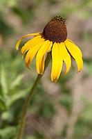 Black-eyed Susan, (Rudbeckia hirta), Austin County, Texas