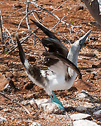 "A Blue-footed Booby (Sula nebouxii) does a sky pointing mating dance on North Seymour Island, part of the Galápagos archipelago, a province of Ecuador 972 km offshore west of the continent of South America. The Sulidae family comprises ten species of long-winged seabirds. The name ""booby"" comes from the Spanish term bobo, which means ""stupid"" or ""fool/clown,"" which describes its clumsy nature on land. Like other seabirds, they can be very tame. Blue-footed Boobies breed in tropical and subtropical islands of the Pacific Ocean."