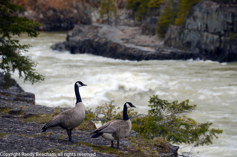 A pair of Canada geese overlooking Kootenai Falls on the first day of spring 2017. Kootenai River Valley in Lincoln County, northwest Montana.