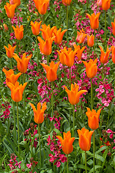 Tulipa 'Ballerina' with wallflower Erysimum 'Violet'