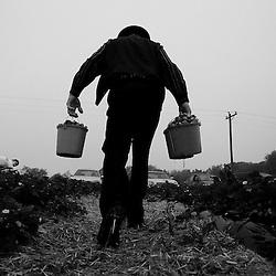Kyle Green | The Roanoke Times<br /> 4/30/2012 A German-Baptist picker from Rocky Mount carries buckets of strawberries at Scott&rsquo;s Strawberry Farm, in Moneta. Fruit crops are 2-3 weeks early this year, due to the warm winter. If people want to do their berry picking this year, they need to know they will have to get out there earlier than usual. Peach and apple crops will also hit the markets sooner than usual.