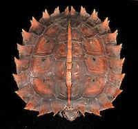 Heosemys spinosa - Malay Spiny Turtle