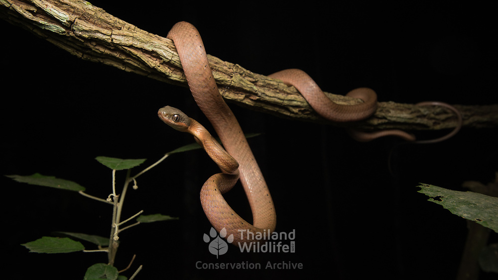 Black-headed Cat Snake (Boiga nigriceps) in Kaeng Krachan national park, Thailand