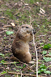 black tailed prairie dog chewing on twig (Photo by Alan Look)