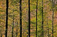 Cathedral forest in autumn light, Arni, Switzerland